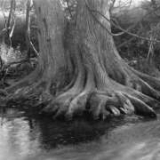 Bald Cypress, Boerne