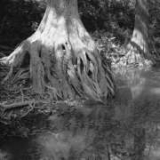 Bald Cypress, Camp Ben